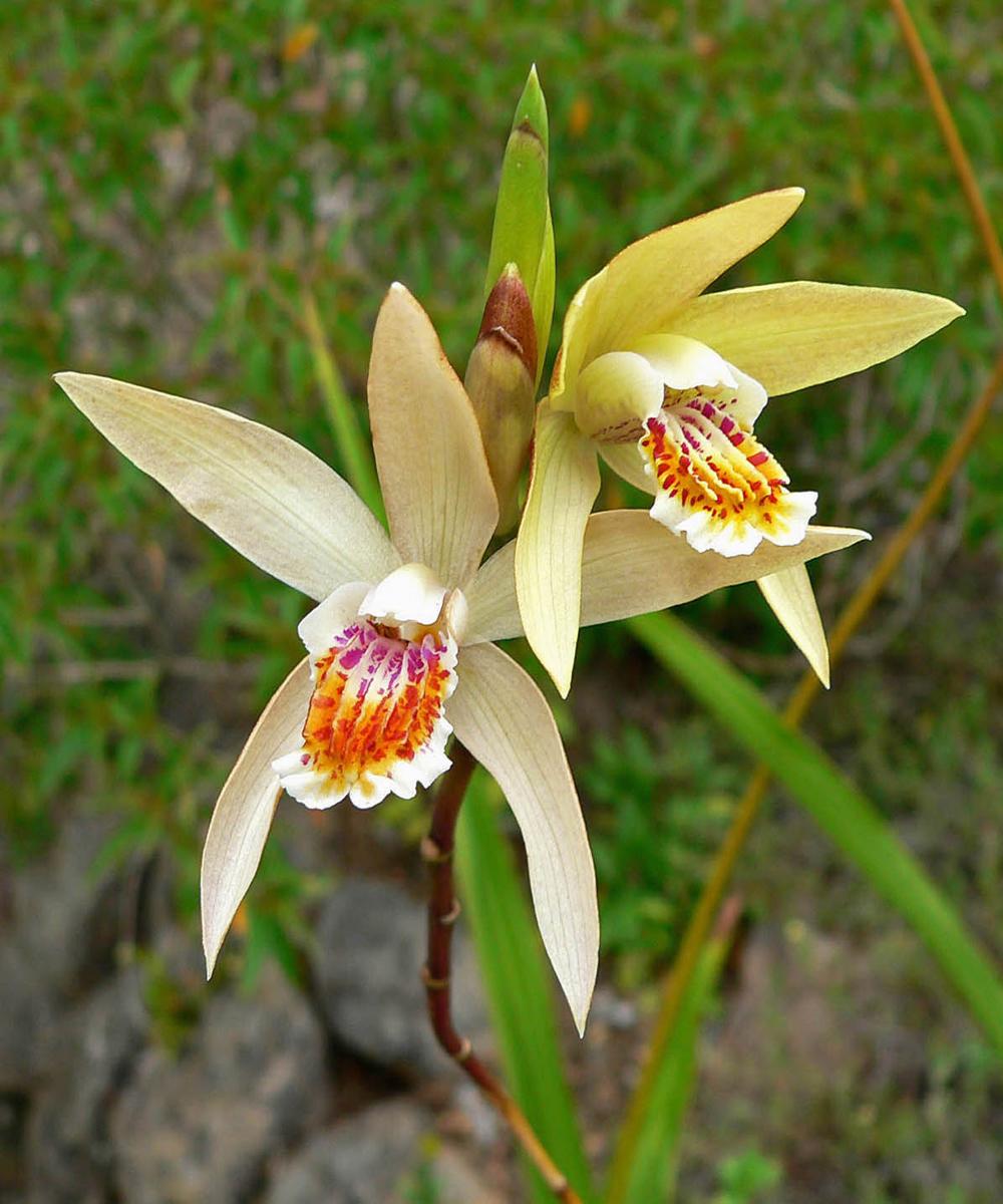 Achat d\'orchidées de jardin (Bletilla, Calanthe, Cypripedium ...