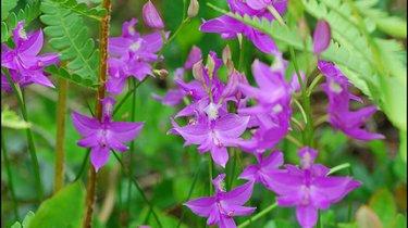 Achat d\'orchidées vivaces de jardin (Bletilla, Calanthe, Cypripedium ...