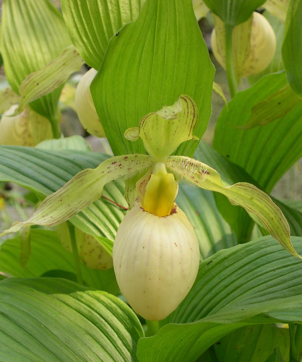 Jardin, terrasse sabot de Vénus jaune Orchidée d\'extérieur ...