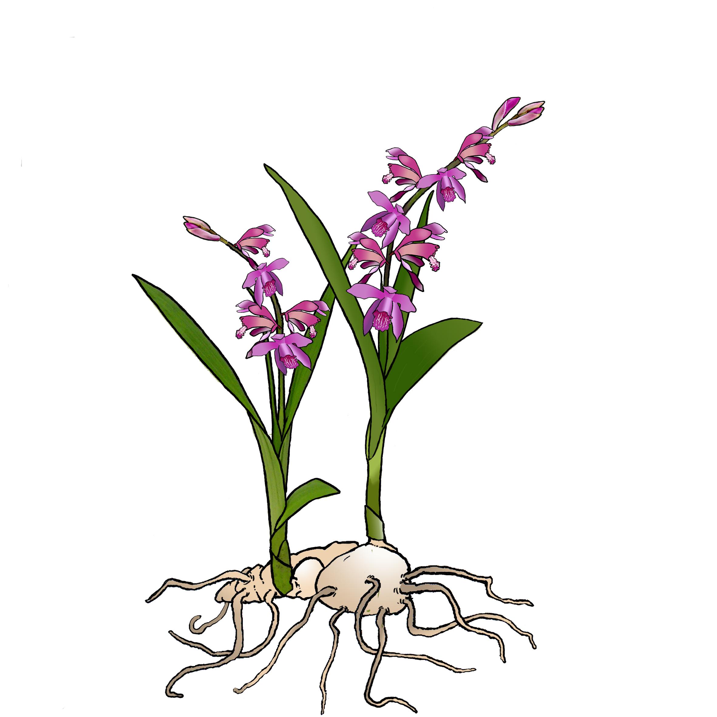 entretien floraison et soin des orchid es vivaces de jardin phytesia. Black Bedroom Furniture Sets. Home Design Ideas
