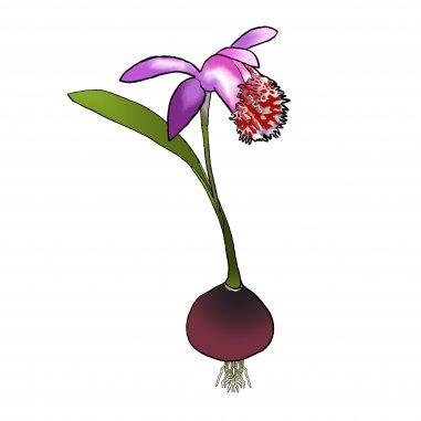 Entretien floraison et soin des orchid es vivaces de jardin phytesia - Orchidee entretien apres floraison ...