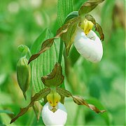 Cypripedium Columbianum